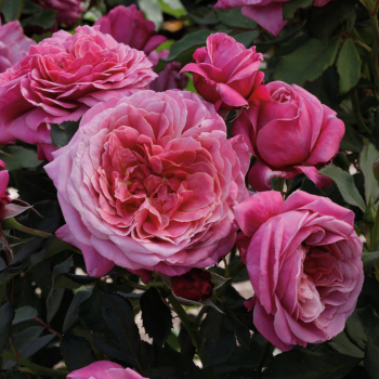Queen Of Elegance Floribunda Rose