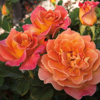 Rosie The Riveter Floribunda Rose
