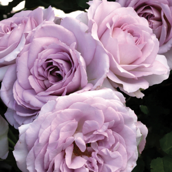 Silver Lining Floribunda Rose