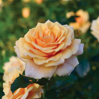 St Tropez Floribunda Rose
