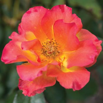 Sunset Horizon Floribunda Rose