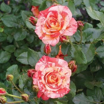 Alfred Sisley Shrub Rose