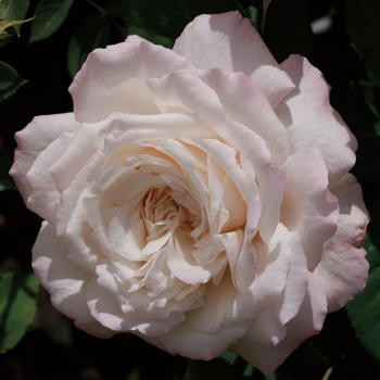 Belinda's Blush Shrub Rose