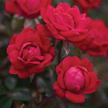Double Knock Out Shrub Rose
