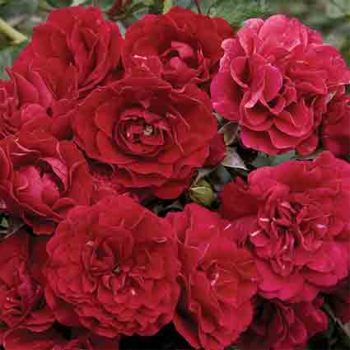 Fire Meidiland Groundcover Rose