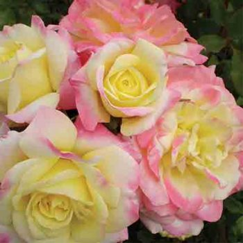 Music Box Shrub Rose