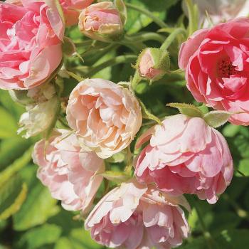 Pink Grootendorst Rugosa Rose