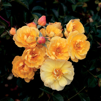 Sunshine Happy Trail Groundcover Rose