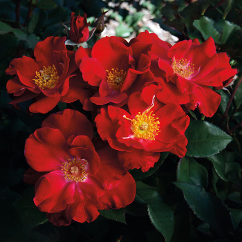 Top Gun Shrub Rose