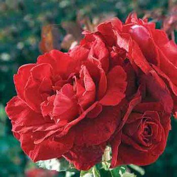 Don Juan Climber Rose