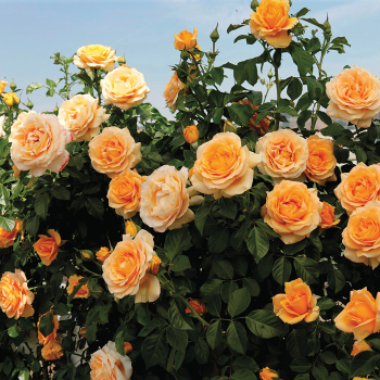 Golden Opportunity Climbing Rose
