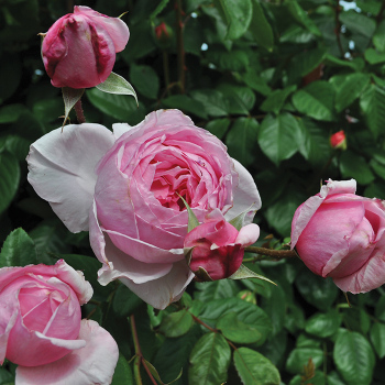 Kiss Me Kate Climbing Rose