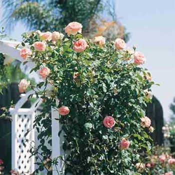 Pearly Gates Climbing Rose