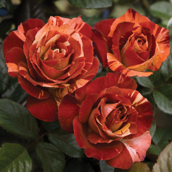 Tropical Lightning Climber Rose