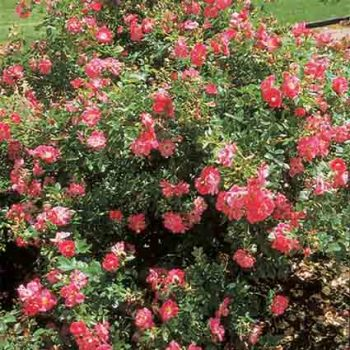 William Baffin Pillar Climbing Rose