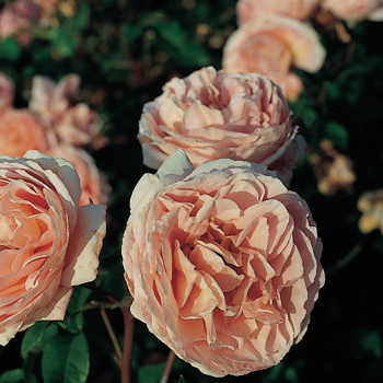 Abraham Darby Shrub Rose