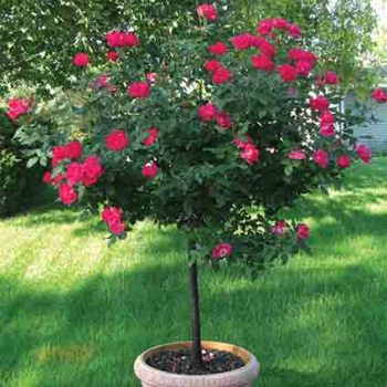 Double Knock Out Patio Tree Rose