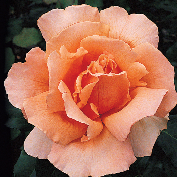 Just Joey Tree Rose