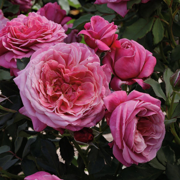 Queen Of Elegance Patio Tree Rose