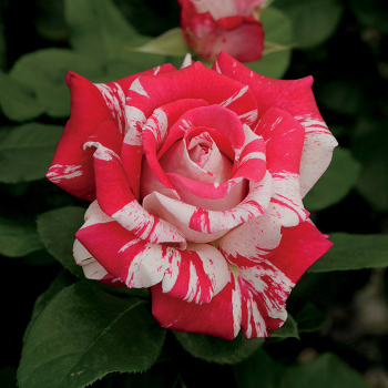 Neil Diamond Tree Rose