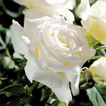Pope John Paul II Tree Rose