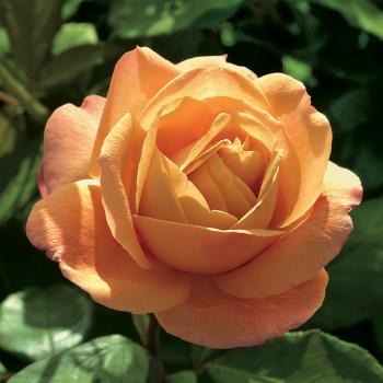 Strike It Rich Tree Rose