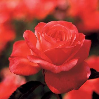 Tropicana Rose Tree