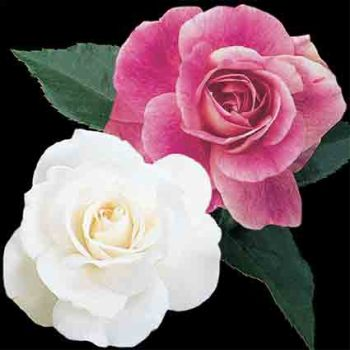 Iceberg And Brilliant Pink Iceberg Tree Rose