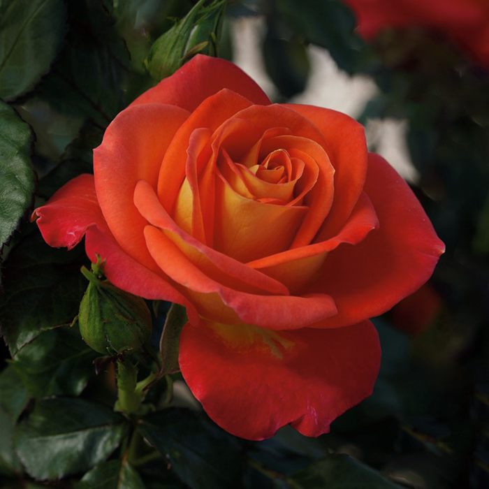 Burst Of Joy Floribunda Rose