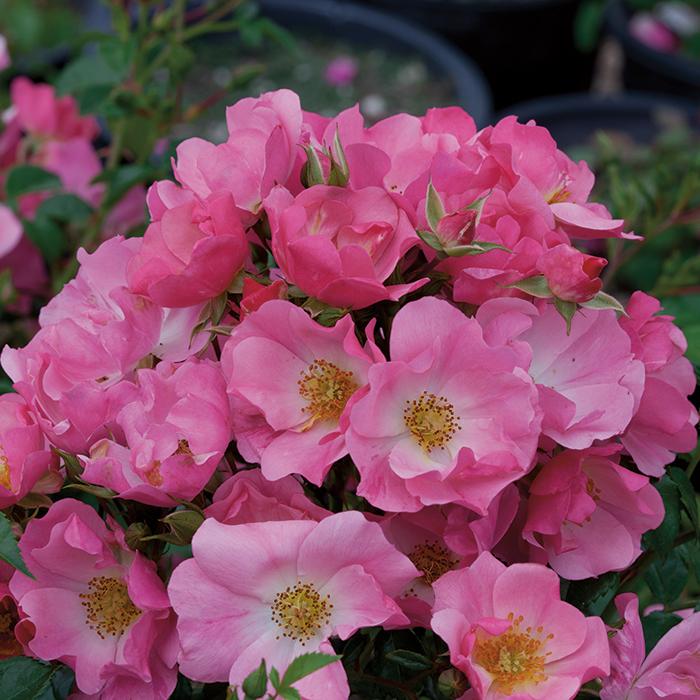 Pink Snowflakes Shrub Rose