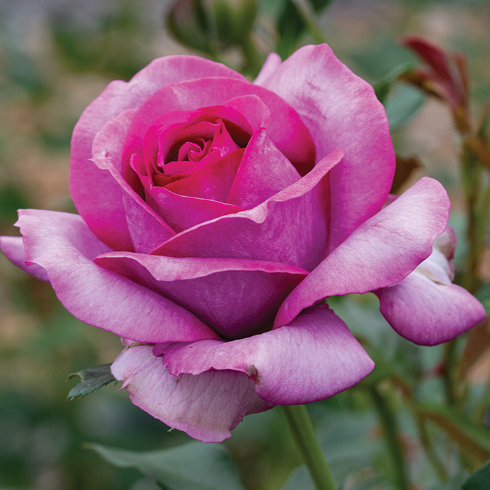 Perfume Factory Hybrid Tea Rose