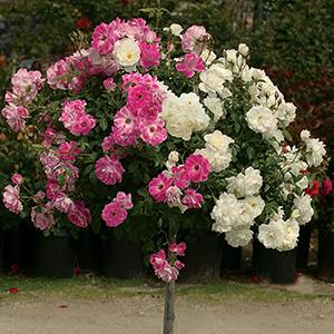 36 Tree Roses
