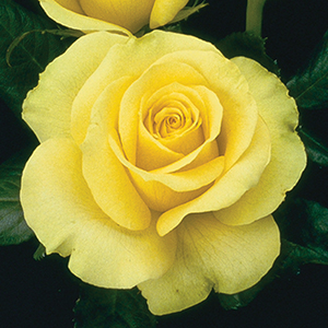 Heat Tolerant Roses