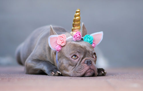 french bulldog wearing a flower unicorn headband