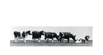 Set of 10 Cows (9-5007-KIT)