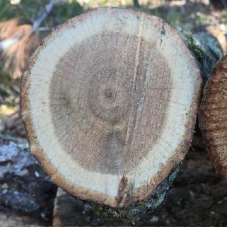 Healthy sapwood ring