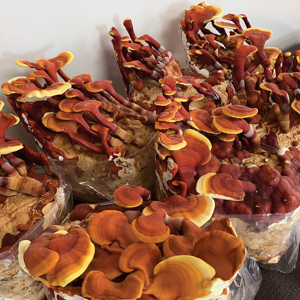 Reishi Table Top Farm Special