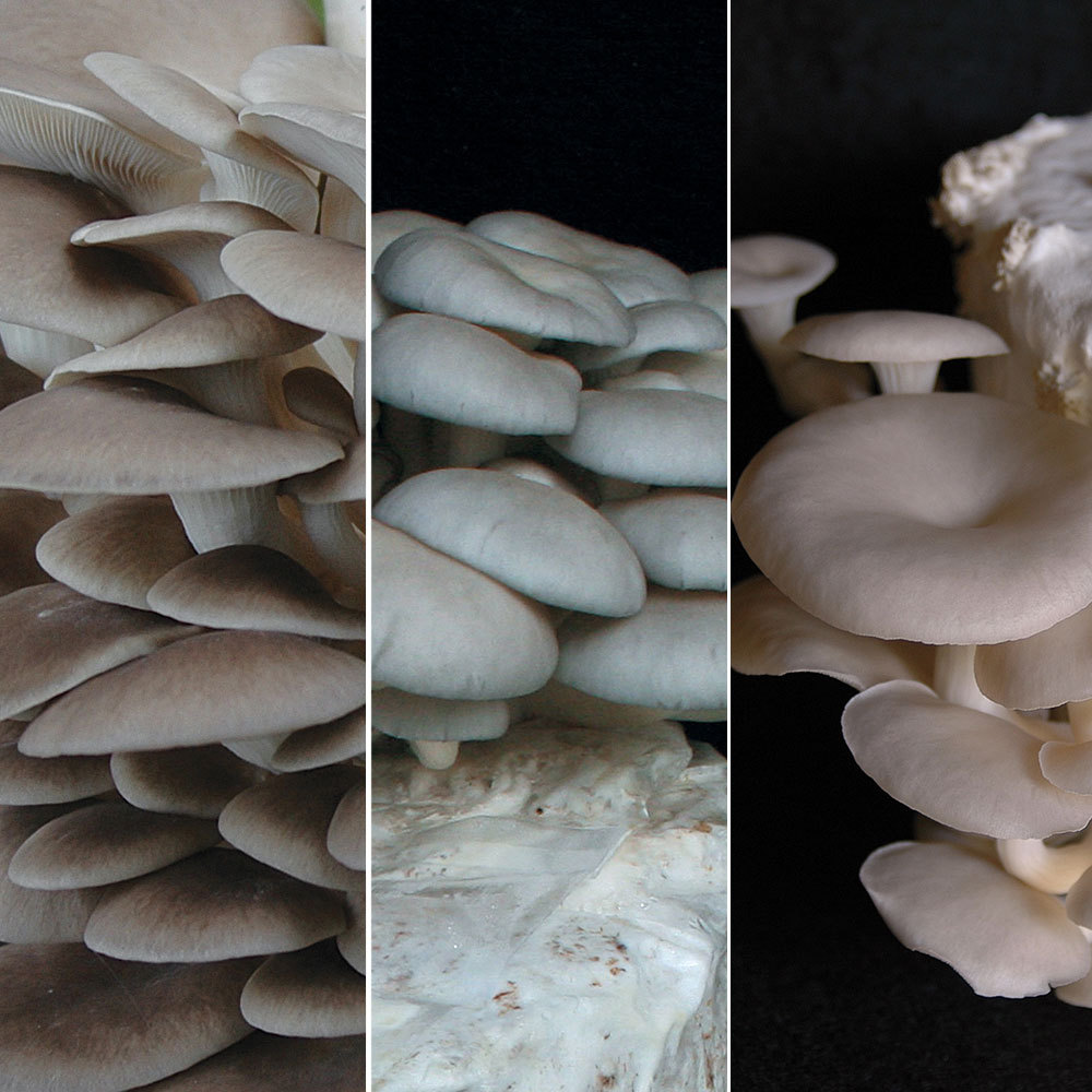Oyster - Mushrooms Of Many Colors TeePee™ Kit