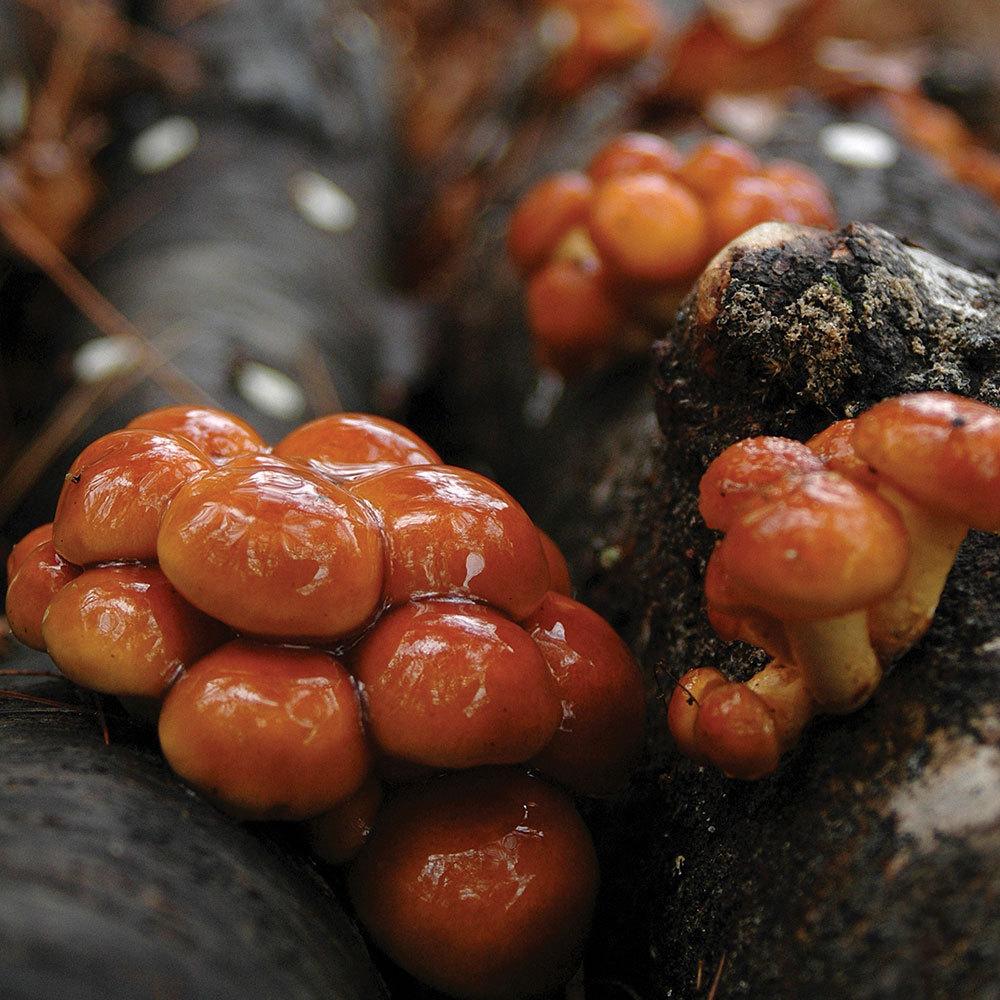 Nameko - (Pholiota microspora) Sawdust Spawn