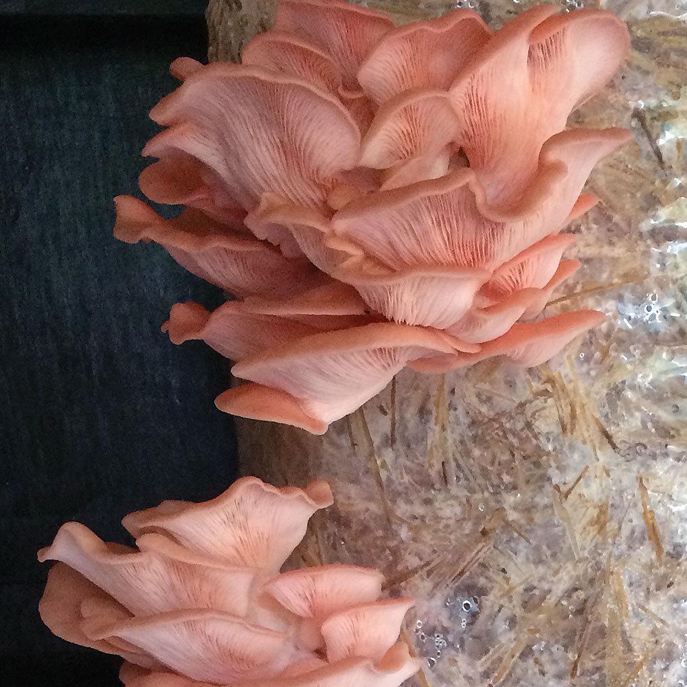 Oyster - Pink (Pleurotus djamor) Grain Spawn