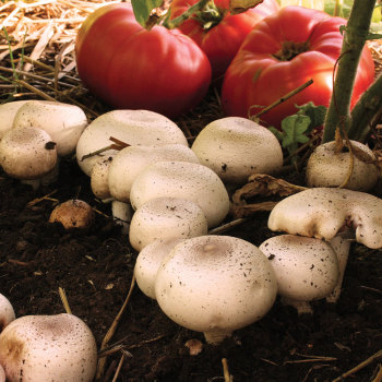 Almond Agaricus - (Agaricus subrufescens) Sawdust Spawn