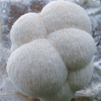Lion's Mane Table Top Farm