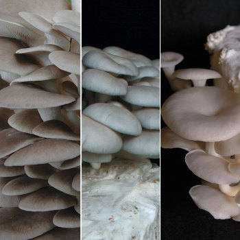 Oyster - Mushrooms Of Many Colors TeePee™ Kit
