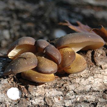 Olive Oysterling - (<i>Panellus serotinus</i>) Sawdust Spawn