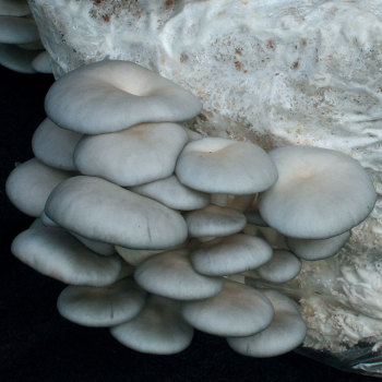 Oyster - Grey Dove™ (Pleurotus ostreatus) Grain Spawn