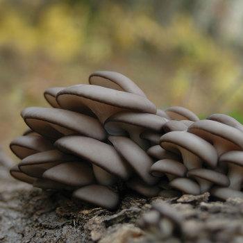 Oyster - Kira™ (Pleurotus ostreatus) Sawdust Spawn
