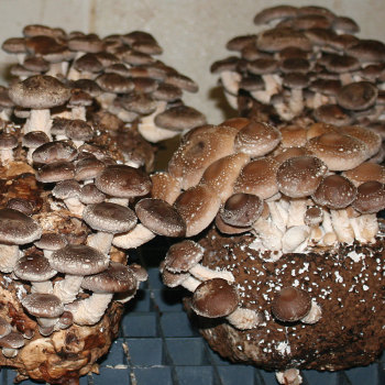 Shiitake 10-Block Set
