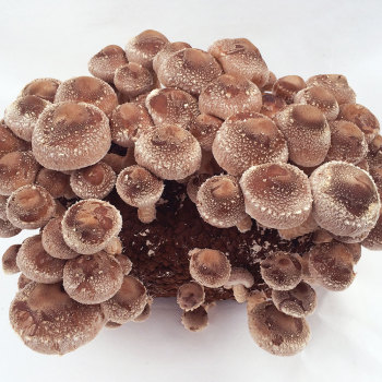 Shiitake Table Top Farm