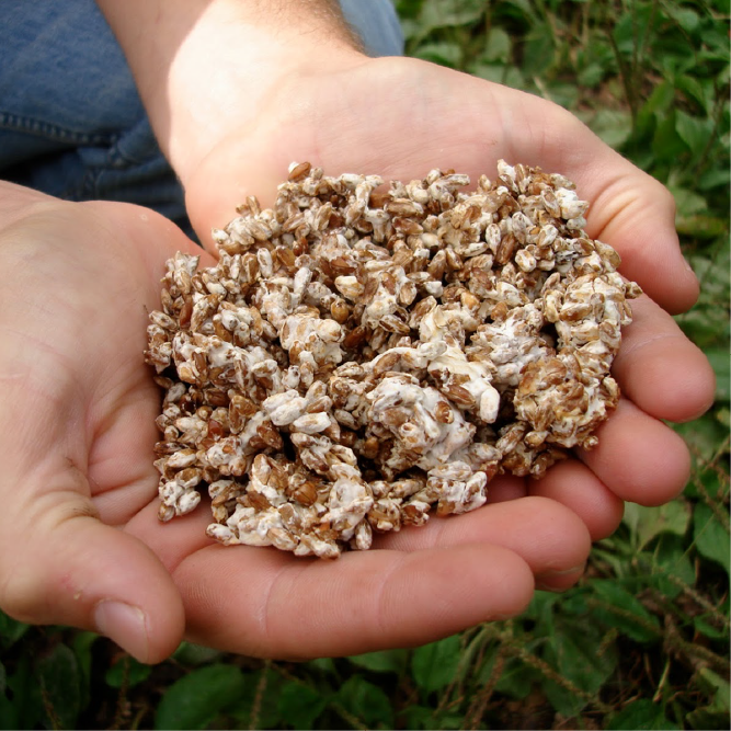 Is Grain or Sawdust Spawn Better for Oyster Mushroom Production on Straw?