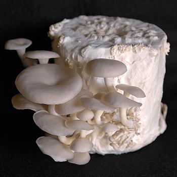 Oyster Mushroom Grow Kits